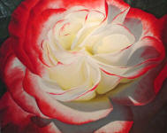 MULTI-COLORED ROSE PAINTINGS - visit the multi-colored rose painting gallery! Rose paintings by Steve Luce