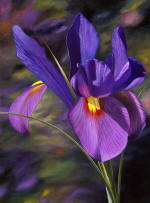 OTHER BEAUTIFUL FLOWER PAINTINGS- A portrait of an iris - visit the iris painting gallery! Rose paintings by Steve Luce