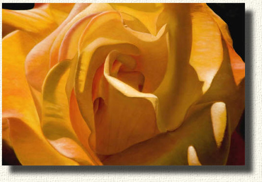 "The great Rio Samba rose - an oil on canvas 32"" x 42"""